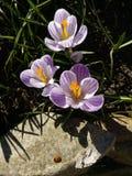 krokus Fjädra krokus med nyckelpigan på solljuskonstljus Unik färg av vårkrokusblomman i trädgård Ingen stolpeprocess Royaltyfria Bilder