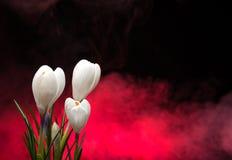 Krokus fjädrar blommor Royaltyfria Bilder
