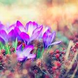 Krokus fjädrar blommor Fotografering för Bildbyråer