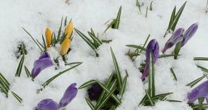 Krokus fj?drar blommor stock video