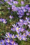Krokus fjädrar blommor Arkivfoton