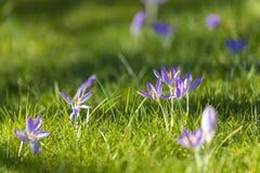 Krokus flowrs auf dem Rasen stockfoto