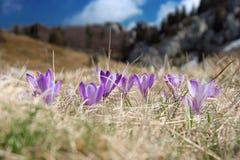 Krokus am Frühling Stockbilder