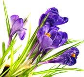 Krokus-Frühlings-Blumen Lizenzfreie Stockfotografie