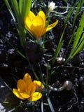 krokus Frühlingskrokus auf Sonnenlichtkunstlicht Einzigartige Farbe der Frühlingskrokusblume im Garten Kein Beitragsprozeß Minzuh lizenzfreie stockbilder