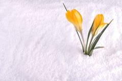 Krokus in Gele Sneeuw Royalty-vrije Stock Afbeeldingen