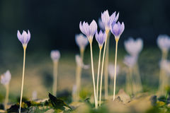 Krokus i natur Fotografering för Bildbyråer