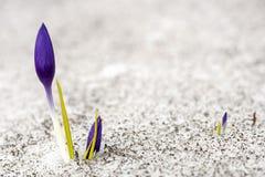 Krokus i snö Fotografering för Bildbyråer
