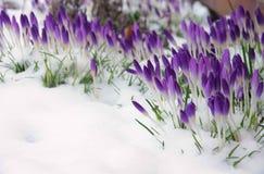 Krokus im Schnee Stockbilder