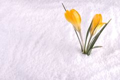 Krokus im Schnee-Gelb Lizenzfreie Stockbilder