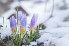 Krokus im schneebedeckten Garten Lizenzfreies Stockbild