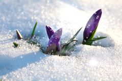Krokus im schneebedeckten Garten Stockfotos