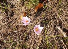 Krokus Iridacea royalty-vrije stock afbeeldingen