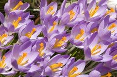 krokus kwitnie purpury Fotografia Stock