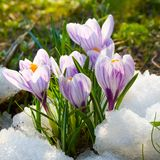 krokus kwitnie purpury Zdjęcia Royalty Free