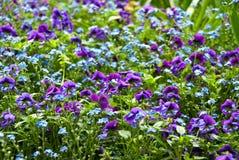 Krokus kwitnie purpury Zdjęcie Stock