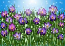 krokus kwitnie purpury Obrazy Royalty Free