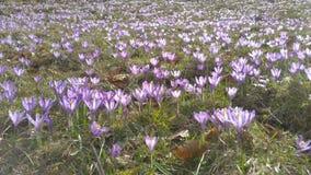 krokus kwitnie wiosna zbiory
