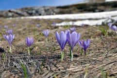 krokus kwitnie wiosna obraz stock