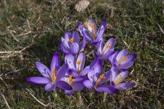 krokus kwitnie wiosny światło słoneczne Obraz Stock
