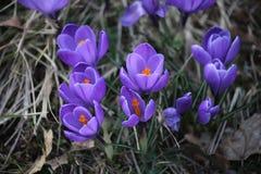 krokus kwitnie wiosny światło słoneczne fotografia stock