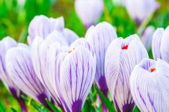 krokus kwitnie wiosny światło słoneczne Zdjęcie Stock