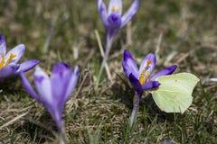 Krokus kwitnie z motylem Zdjęcie Royalty Free