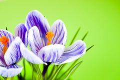 Krokus na jaskrawym kolorowym tle wiosna kwiat Obrazy Royalty Free