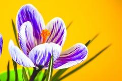 Krokus na jaskrawym kolorowym tle wiosna kwiat Zdjęcia Stock