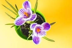 Krokus na jaskrawym kolorowym tle wiosna kwiat Obraz Royalty Free