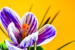 Krokus na jaskrawym kolorowym tle wiosna kwiat Zdjęcie Stock