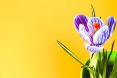 Krokus na jaskrawym kolorowym tle wiosna kwiat Obraz Stock