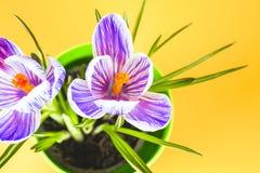 Krokus na jaskrawym kolorowym tle wiosna kwiat Obrazy Stock