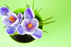 Krokus na jaskrawym kolorowym tle wiosna kwiat Zdjęcia Royalty Free