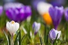 krokus najpierw kwitnie kwiatów ilustraci śniegu wiosna wektor Obrazy Stock