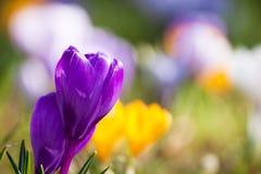 krokus najpierw kwitnie kwiatów ilustraci śniegu wiosna wektor Obraz Royalty Free