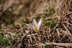 krokus najpierw kwitnie kwiatów ilustraci śniegu wiosna wektor Fotografia Stock