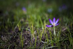 Krokus op weide bij de lente Royalty-vrije Stock Afbeeldingen