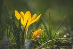 Krokus på den tidiga våren Arkivbild