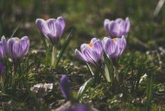 Krokus på den tidiga våren Royaltyfri Bild
