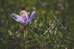 Krokus på den tidiga våren Arkivbilder