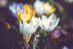 Krokus på den tidiga våren Arkivfoton