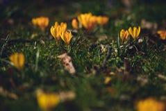 Krokus på den tidiga våren Royaltyfri Foto