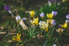 Krokus på den tidiga våren Royaltyfri Fotografi