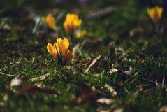Krokus på den tidiga våren Fotografering för Bildbyråer