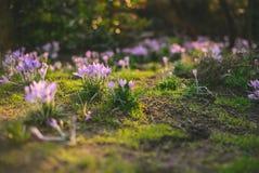 Krokus på den tidiga våren Arkivfoto