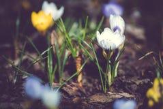 Krokus på den tidiga våren Royaltyfria Bilder