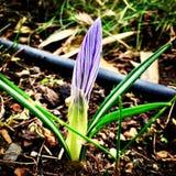 Krokus på våren Arkivfoto