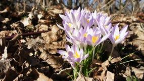 Krokus purpur wiosna Zdjęcia Stock