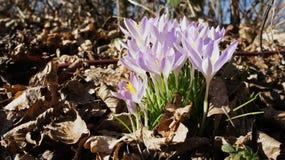 Krokus purpur wiosna Zdjęcie Royalty Free